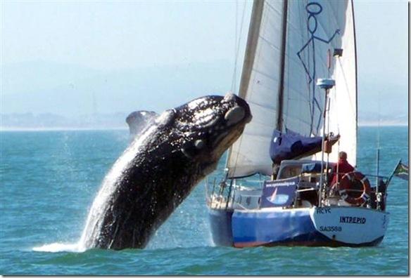Balena contro barca a vela